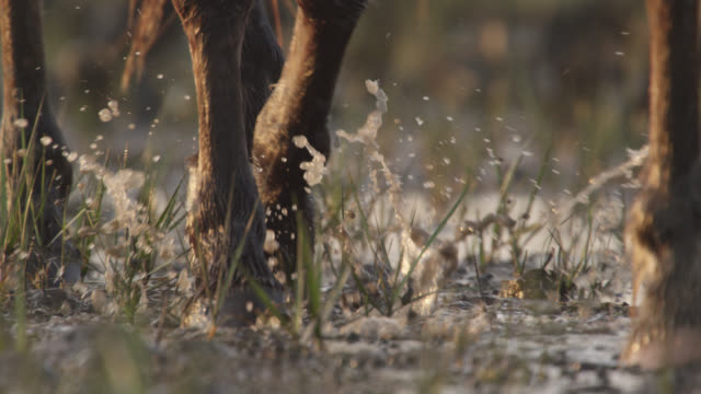 wild horse walks through marshland, north carolina - small group of animals stock videos & royalty-free footage