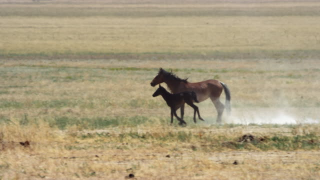 wild horse with foal running in steppe - 子馬点の映像素材/bロール