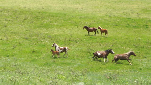 wild horses congregate in mountain meadow - 1 minute or greater stock videos & royalty-free footage