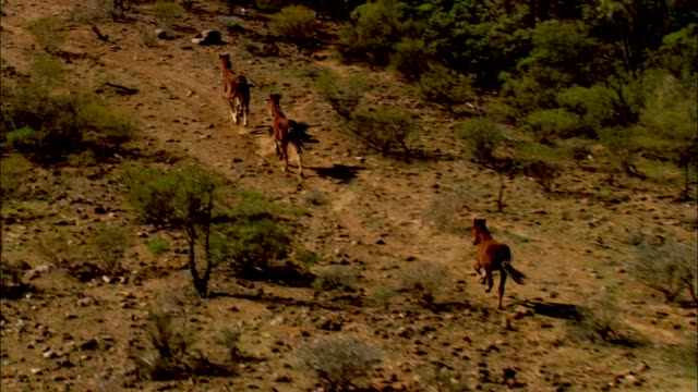 wild horses gallop through the australian outback. - galopp gangart von tieren stock-videos und b-roll-filmmaterial