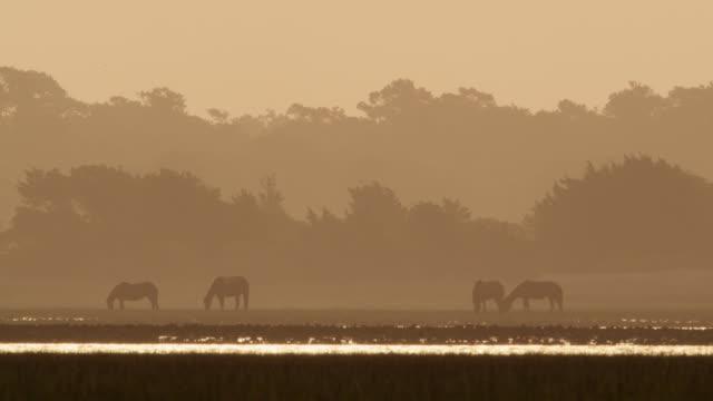 wild horses graze at sunset, north carolina - kleine gruppe von tieren stock-videos und b-roll-filmmaterial