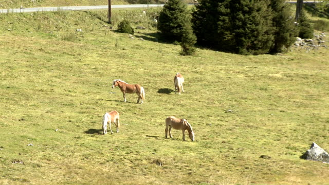 Wild horses grazing on alpine meadow