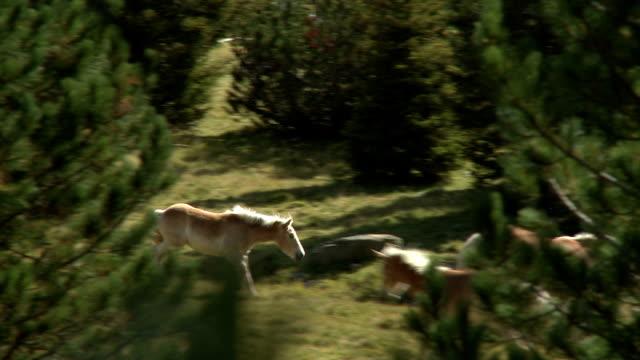 Wild horses grazing on alpine meadow