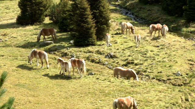 wild horses grazing on alpine meadow - horse family stock videos & royalty-free footage