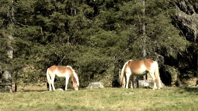 wild horses grazing on alpine meadow - horse family video stock e b–roll