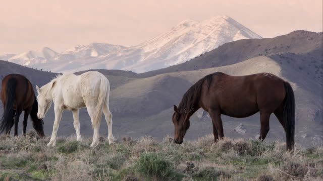 vídeos de stock e filmes b-roll de wild horses grazing on hill top at sunrise. - grupo pequeno de animais