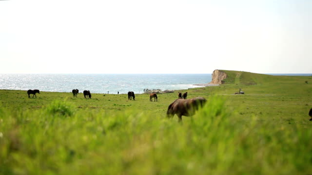 wild horses grazing on the pasture at dovns klint cliffs - przewalski stock videos and b-roll footage