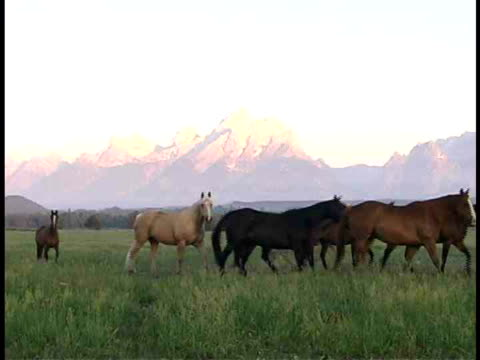 ms, pan, wild horses in field, teton mountains in background , grand teton national park, wyoming, usa - parco nazionale del grand teton video stock e b–roll