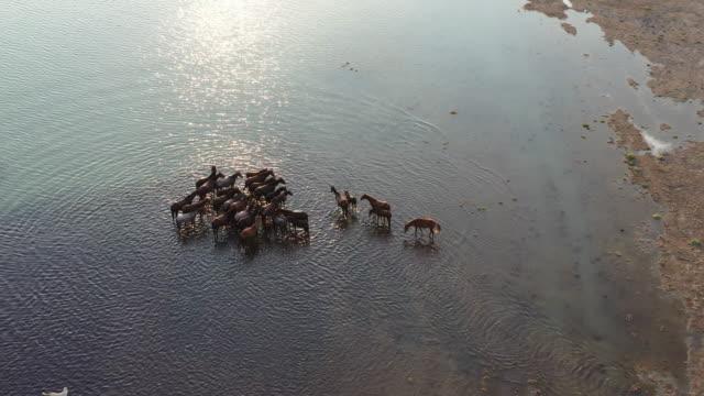 vídeos y material grabado en eventos de stock de caballos salvajes en el lago - área silvestre