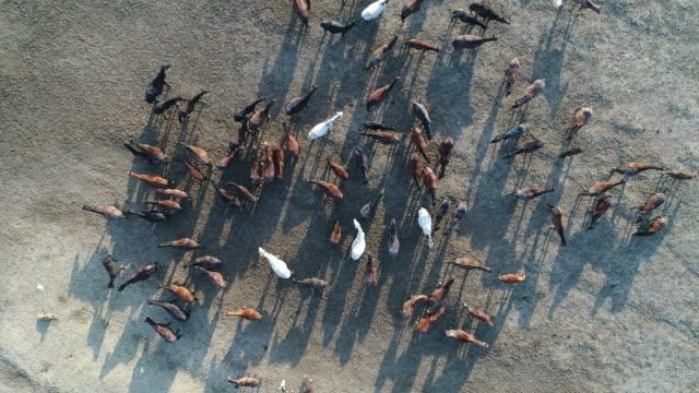 stockvideo's en b-roll-footage met wilde paarden van anatolië luchtfoto - kudde