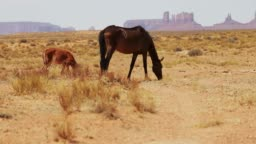 Wild horses of the Monument Valley