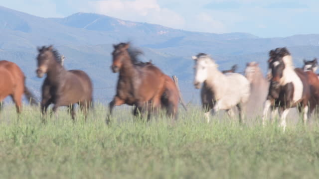 wild horses running in a herd sequence - wildlife stock videos & royalty-free footage