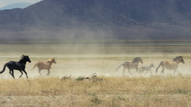 wild horses running in prairie - 在野外的野生動物 個影片檔及 b 捲影像