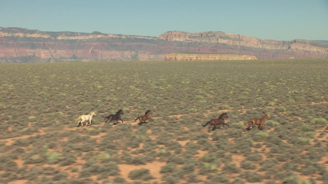 WS AERIAL wild horses running north with Grand Canyon walls / Arizona, United States