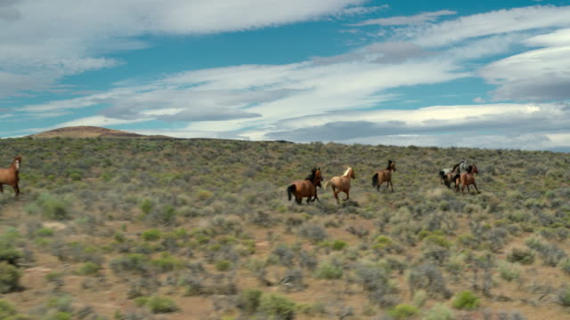 wild horses running on prairie - nevada stock videos & royalty-free footage