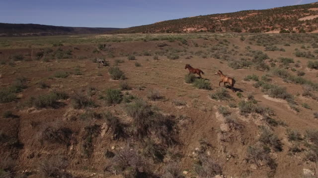 Wild horses running through frame 4k, Drone aerial view of Wild horses grazing and running near the grand canyon close to the arizona utah border
