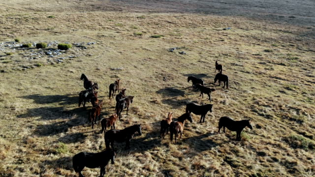 wild horses - bosnia and hercegovina stock videos & royalty-free footage