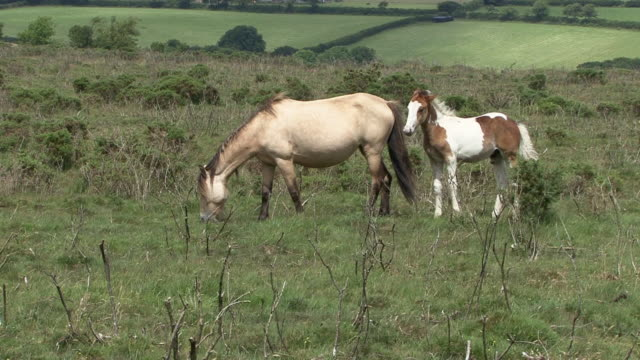 wild horses - moor stock videos & royalty-free footage