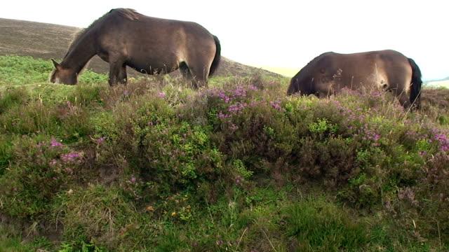 wild horses - exmoor national park stock videos & royalty-free footage