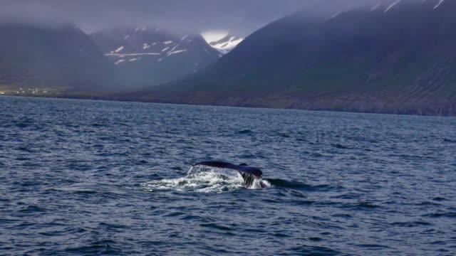 Wild Humpback whale fluke Tail
