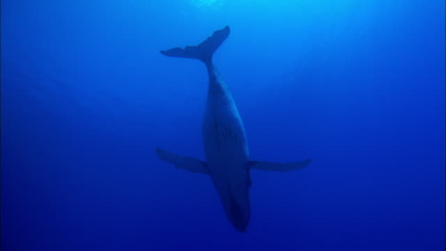 wild humpback whale swimming underwater - antarctica whale stock videos & royalty-free footage