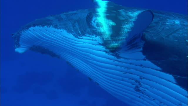 wild humpback whale swimming underwater - buckelwal stock-videos und b-roll-filmmaterial