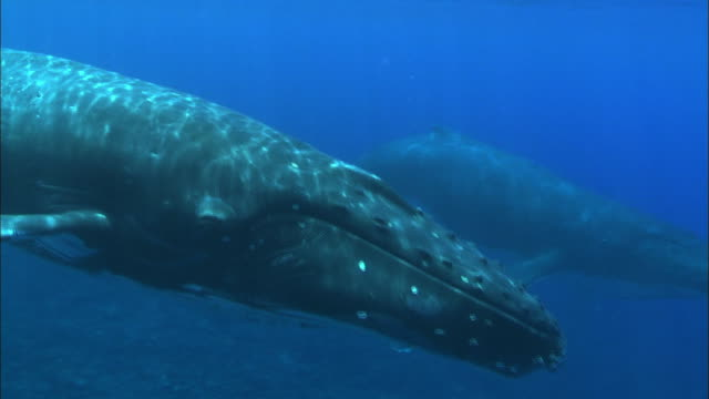 wild humpback whales swimming underwater - antarctica whale stock videos & royalty-free footage