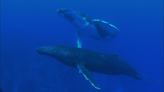 stockvideo's en b-roll-footage met wild humpback whales swimming underwater - walvis