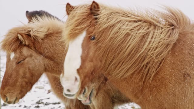ms wild icelandic horses in snowy field,iceland - horse stock videos & royalty-free footage