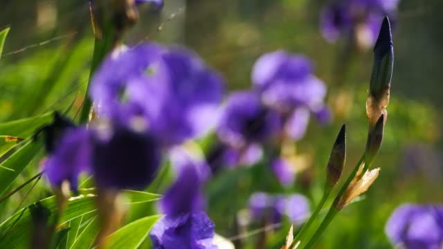wild iris, spring season - iris plant stock videos & royalty-free footage