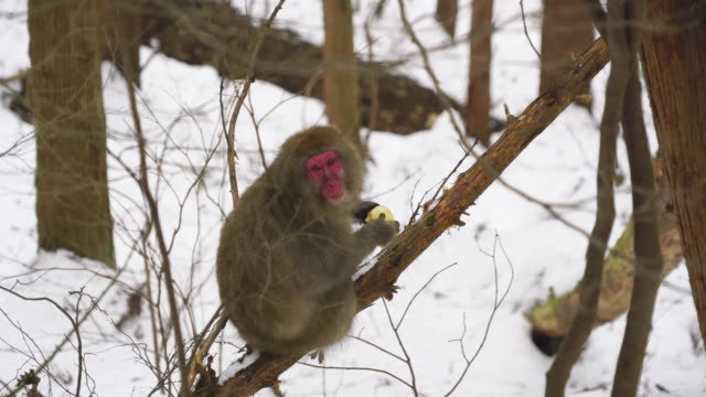 wild japanese snow monkey stays on the tree among the snowy forest at nagano japan on feb. 18 2019. - conceptual symbol stock videos and b-roll footage