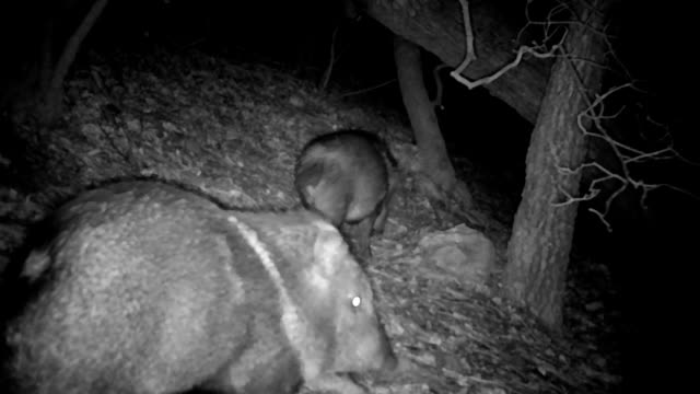 wild javalina captured on a trail camera - wildlife conservation stock videos & royalty-free footage