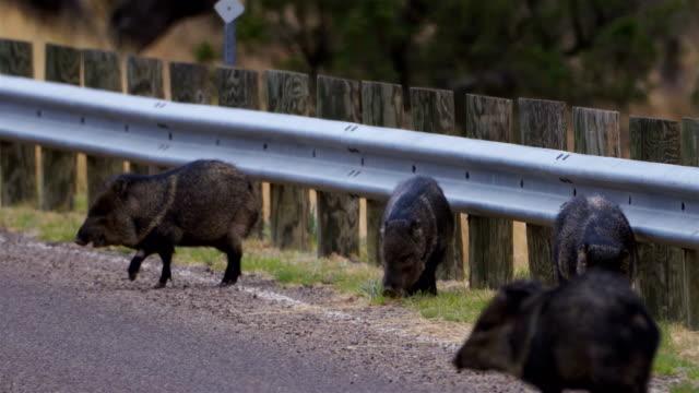 vídeos y material grabado en eventos de stock de wild javelina alimentándose a lo largo de la carretera - vídeo de alta definición