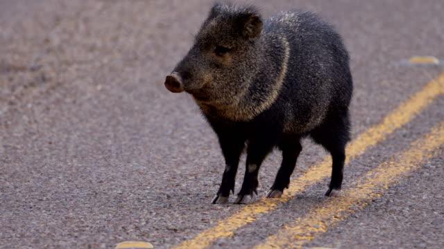 vídeos de stock e filmes b-roll de wild javelina feeding along the road - estéril