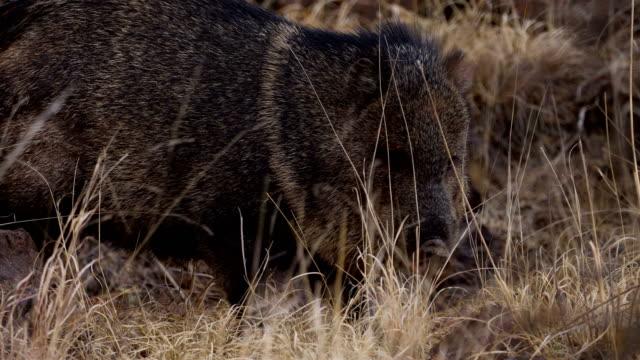 道路に沿って餌を与える野生のジャベリーナ - 迷子の動物点の映像素材/bロール