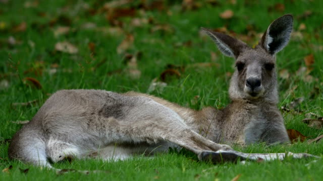 wild kangaroo resting - resting stock videos and b-roll footage