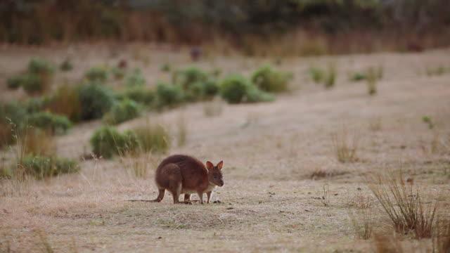 Wild Kangaroos at Lamington National Park, Queensland, Australia