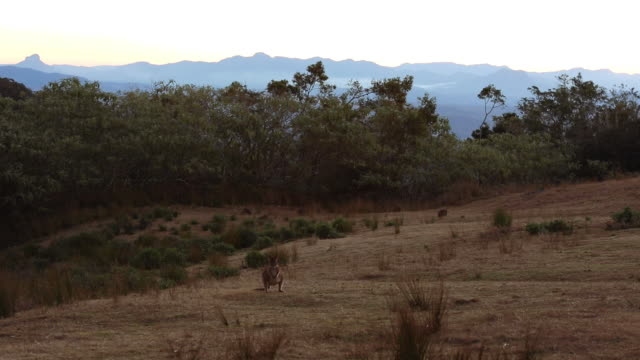 Wild Kangaroos at Lamington National Park, Queensland, Australia