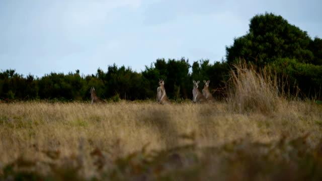 wild kangaroos - rural scene stock videos & royalty-free footage