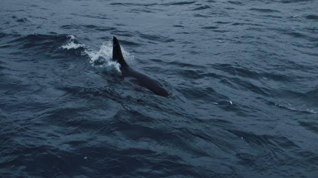 vídeos y material grabado en eventos de stock de orcas salvajes en el mar de noruega - cetáceo