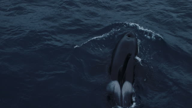 wild killer whales in the norwegian sea - mammal stock videos & royalty-free footage