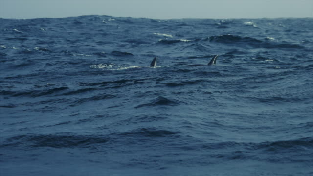 wild killer whales in the norwegian sea - killer whale stock videos and b-roll footage