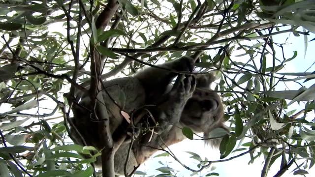 野生のコアラ引っかき傷の木 - 葉のない木点の映像素材/bロール