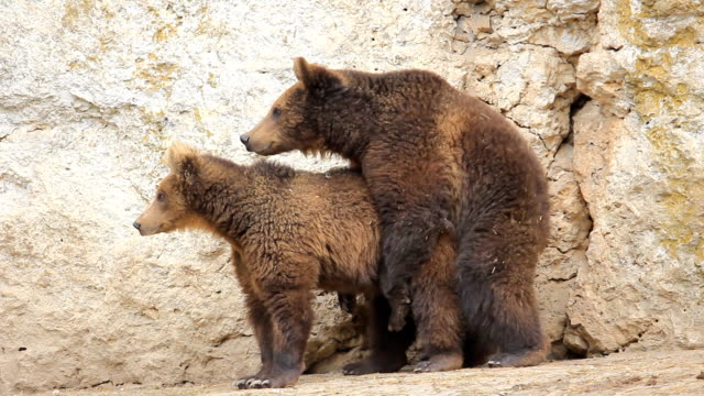 wild life accoppiamento brown bears - comportamento animale video stock e b–roll