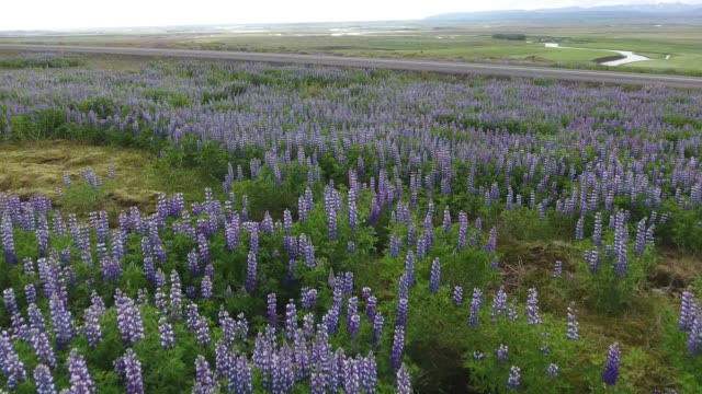 wild lupine field in iceland - temperate flower stock videos and b-roll footage