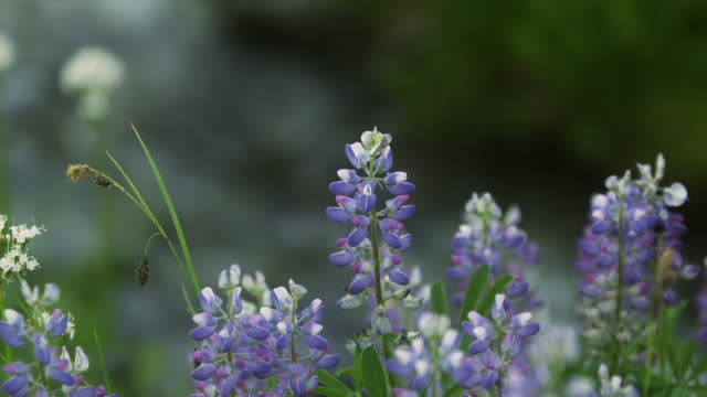 CU Wild Lupines (Lupinus perennis) growing on meadow with defocused creek in background, Coast Mountains, Squamish, British Columbia, Canada