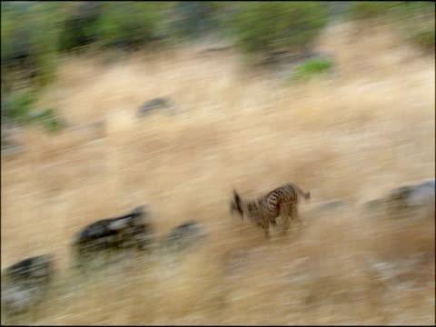 vidéos et rushes de wild lynx (lynx lynx) runs and catches rabbit (oryctolagus cuniculus), sierra de andujar, andalucia, spain - lynx
