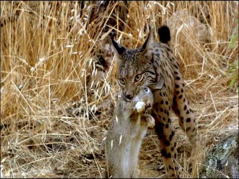 vidéos et rushes de wild lynx (lynx lynx) with rabbit (oryctolagus cuniculus) prey, sierra de andujar, andalucia, spain - lynx