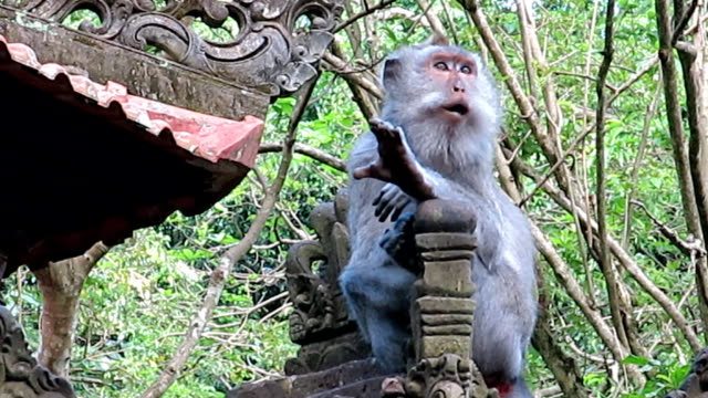 Wild Macaque Monkey (Macaca fascicularis) Family Grooming