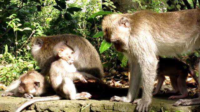 Wild makaak Monkey (Macaca fascicularis) familie Grooming